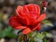 Růžový sad v Lidicích láká svou ojedinělou krásou (Foto: Památník Lidice)