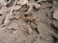 Oblíbená africká šelmička surikata (Foto: KL)